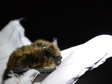 Finding the way back home: tracking an endangered bat in the Rocky Mountains
